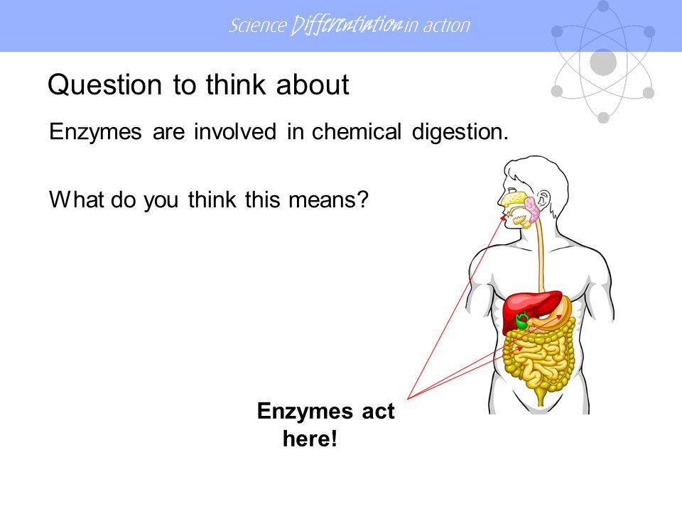 Science Differentiation in action Enzymes are involved in chemical digestion. What do you think this means? Question to think about Enzymes act here!