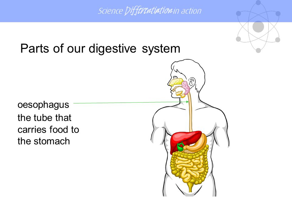 Science Differentiation in action stomach stores food and mixes it with digestive juices Parts of our digestive system