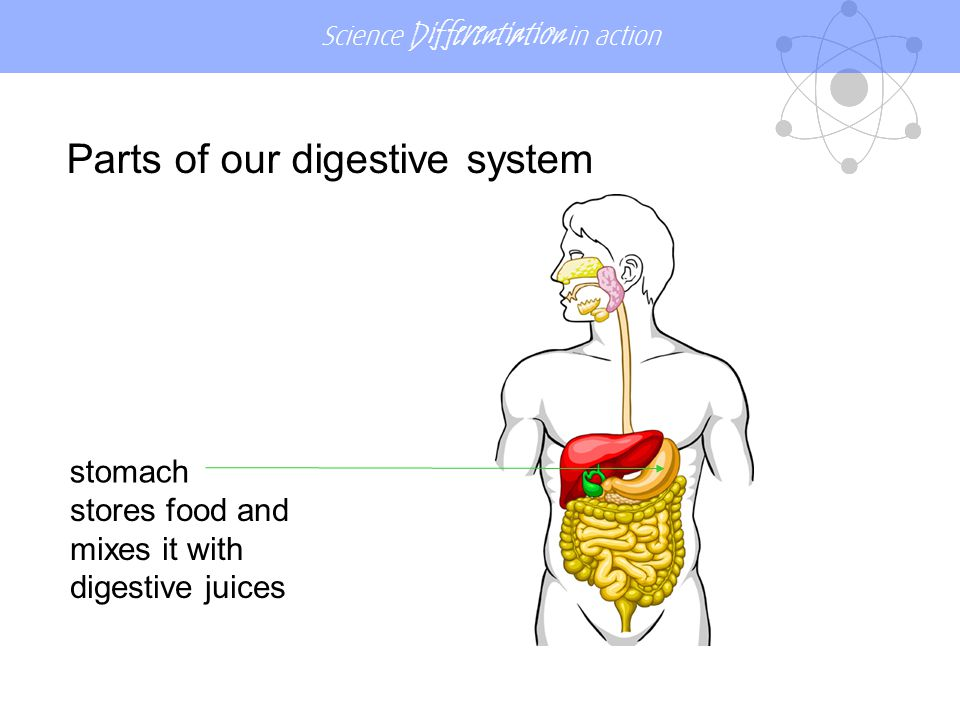 Science Differentiation in action small intestine the tube where broken down food is absorbed into the blood Parts of our digestive system