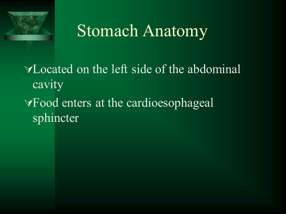 Stomach Anatomy Located on the left side of the abdominal cavity Food enters at the cardioesophageal sphincter