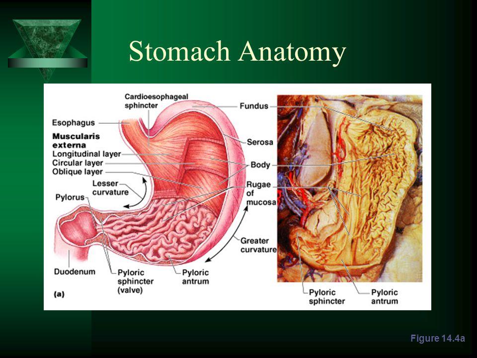 Stomach Anatomy Figure 14.4a