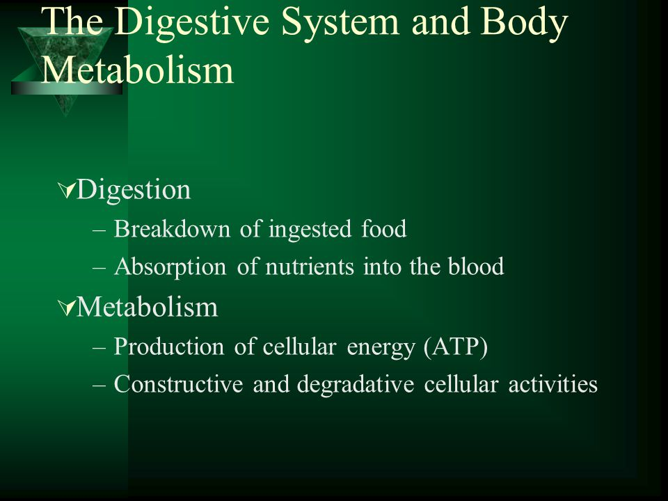 The Digestive System and Body Metabolism Digestion –Breakdown of ingested food –Absorption of nutrients into the blood Metabolism –Production of cellu