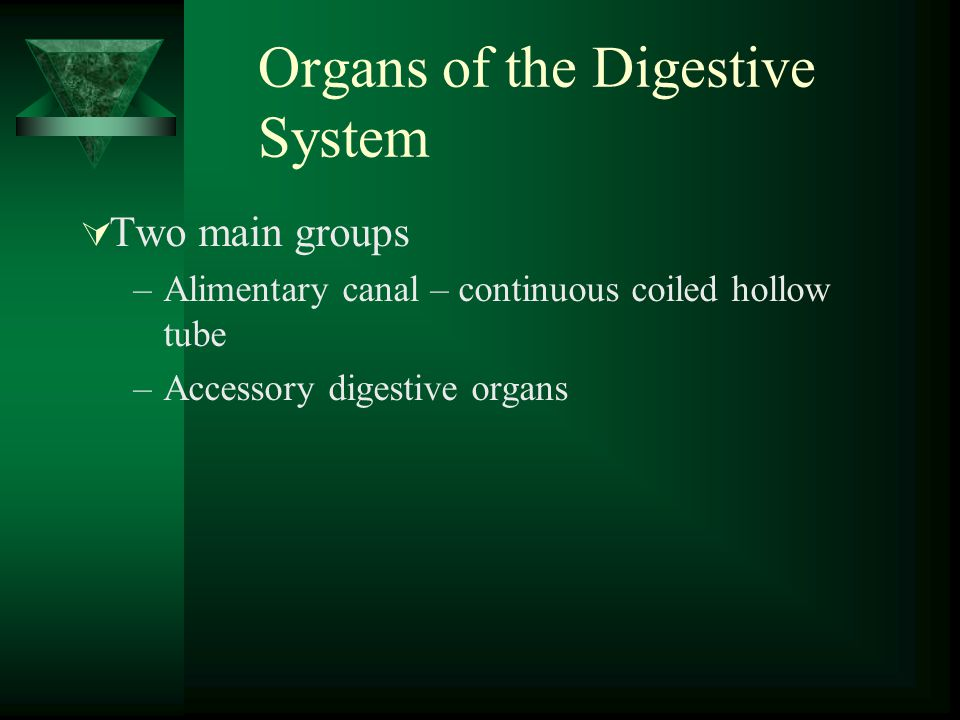 Organs of the Digestive System Two main groups –Alimentary canal – continuous coiled hollow tube –Accessory digestive organs