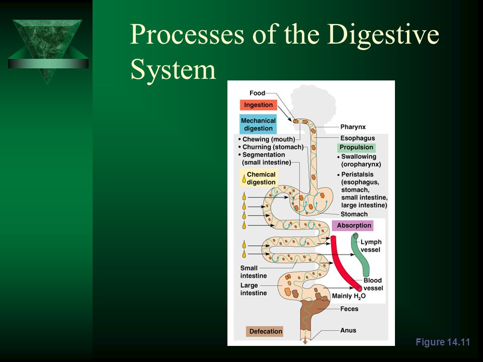 Processes of the Digestive System Figure 14.11