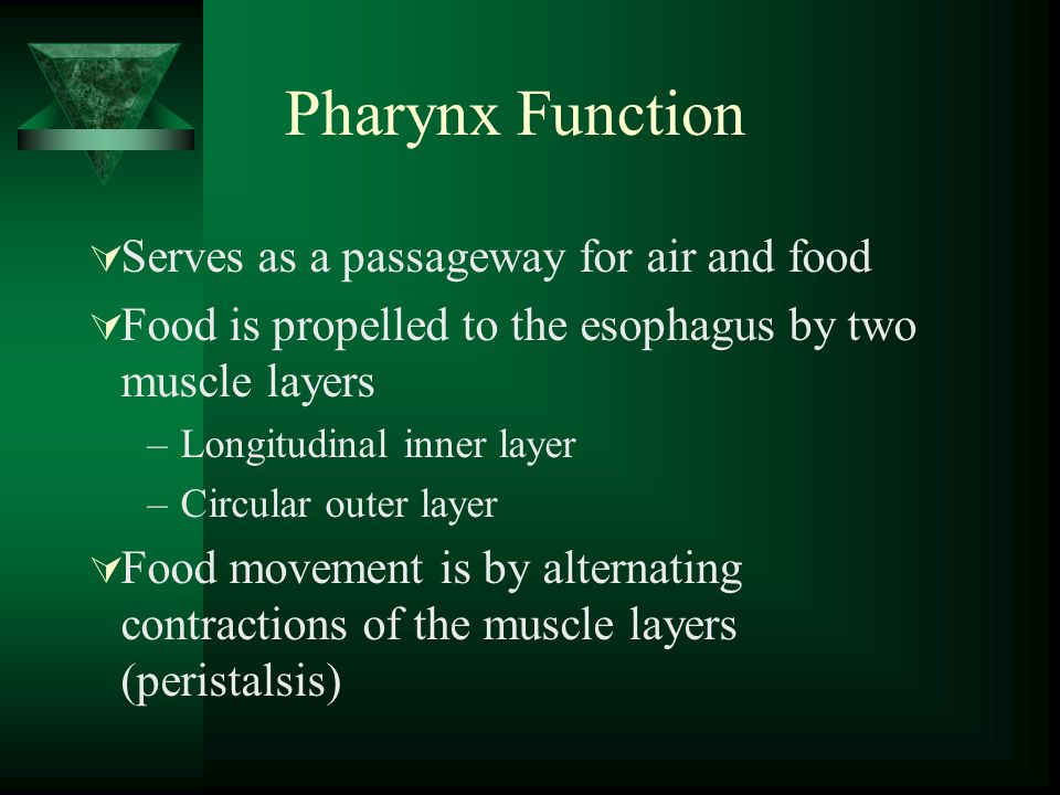 Pharynx Function Serves as a passageway for air and food Food is propelled to the esophagus by two muscle layers –Longitudinal inner layer –Circular o