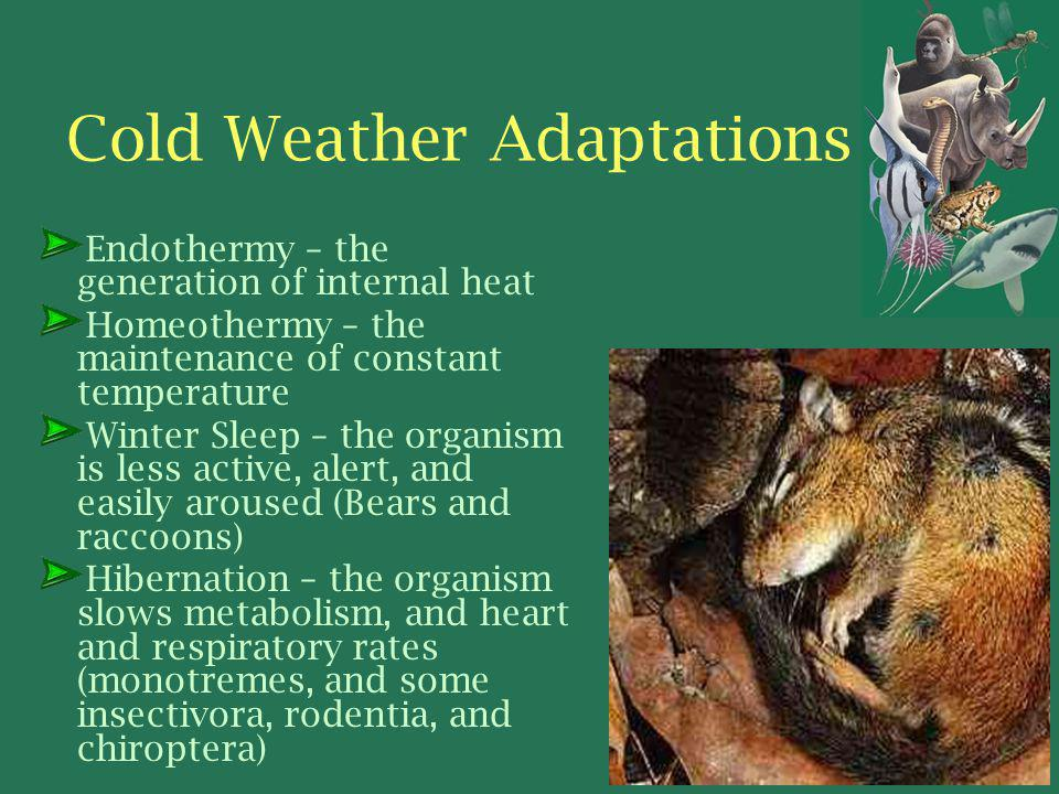 Cold Weather Adaptations Endothermy – the generation of internal heat Homeothermy – the maintenance of constant temperature Winter Sleep – the organism is less active, alert, and easily aroused (Bears and raccoons) Hibernation – the organism slows metabolism, and heart and respiratory rates (monotremes, and some insectivora, rodentia, and chiroptera)