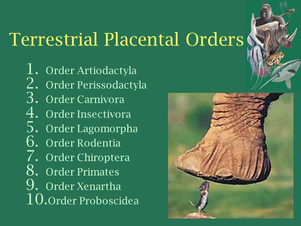 Terrestrial Placental Orders 1. Order Artiodactyla 2. Order Perissodactyla 3. Order Carnivora 4. Order Insectivora 5. Order Lagomorpha 6. Order Rodent