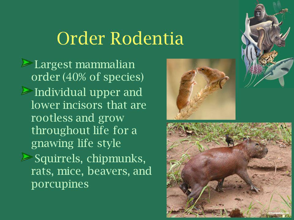 Order Rodentia Largest mammalian order (40% of species) Individual upper and lower incisors that are rootless and grow throughout life for a gnawing life style Squirrels, chipmunks, rats, mice, beavers, and porcupines