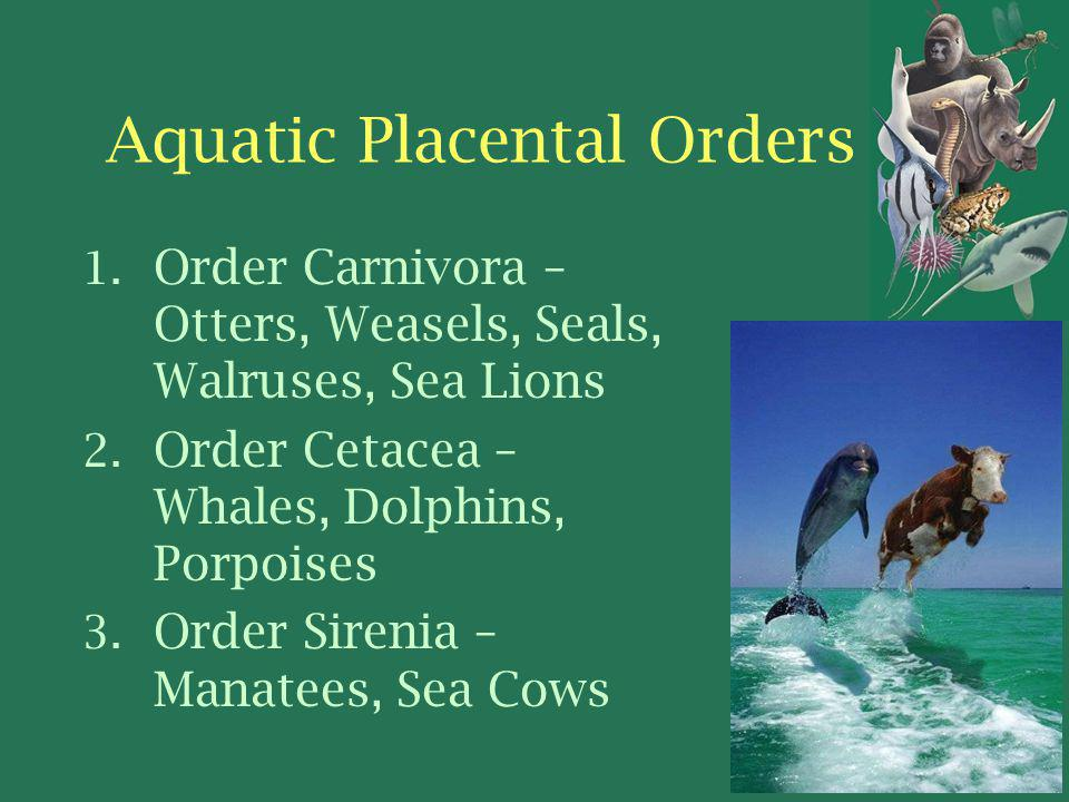Aquatic Placental Orders 1.Order Carnivora – Otters, Weasels, Seals, Walruses, Sea Lions 2.