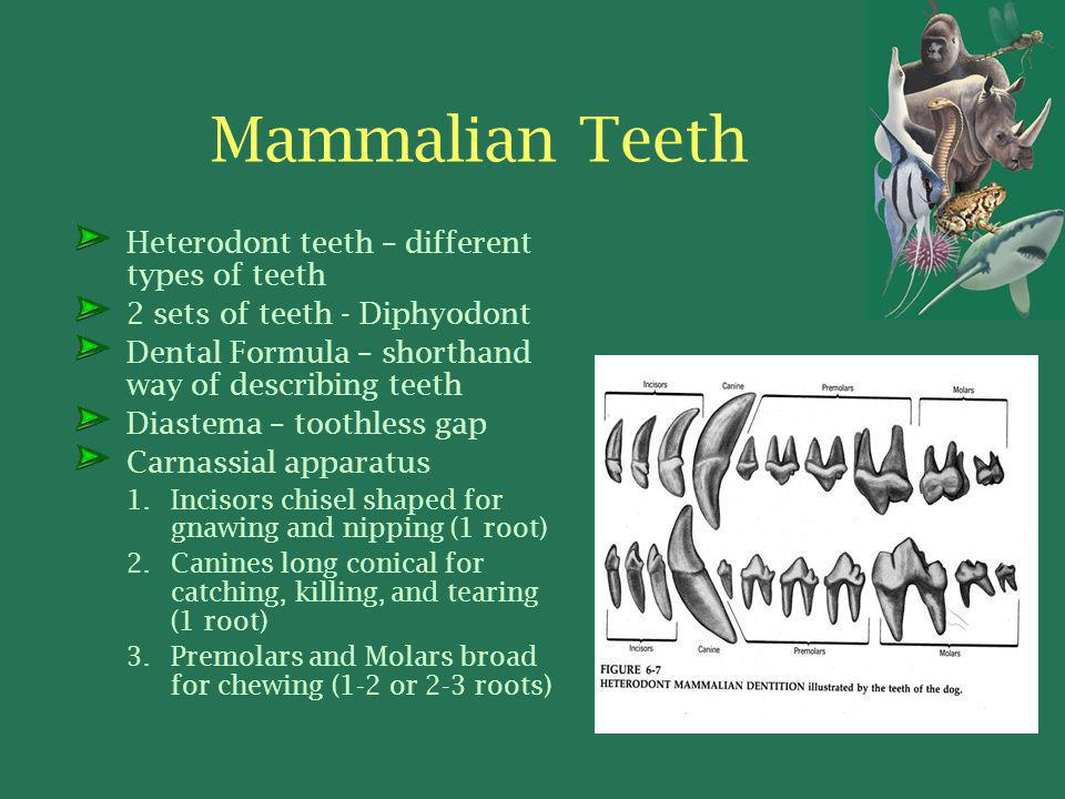 Mammalian Teeth Heterodont teeth – different types of teeth 2 sets of teeth - Diphyodont Dental Formula – shorthand way of describing teeth Diastema – toothless gap Carnassial apparatus 1.Incisors chisel shaped for gnawing and nipping (1 root) 2.Canines long conical for catching, killing, and tearing (1 root) 3.Premolars and Molars broad for chewing (1-2 or 2-3 roots)