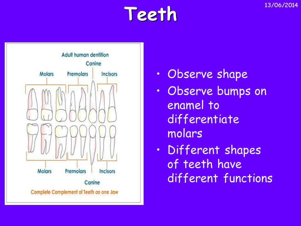 Teeth Observe shape Observe bumps on enamel to differentiate molars Different shapes of teeth have different functions 13/06/2014