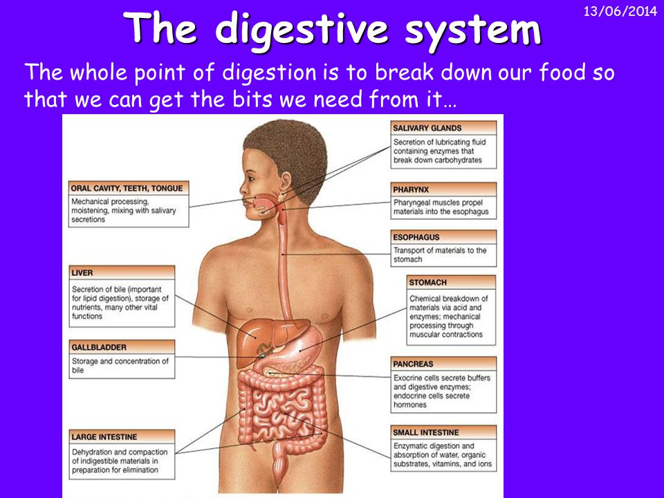 13/06/2014 The digestive system The whole point of digestion is to break down our food so that we can get the bits we need from it…