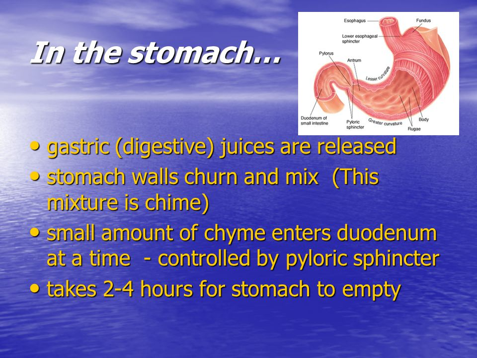 In the stomach… gastric (digestive) juices are released gastric (digestive) juices are released stomach walls churn and mix (This mixture is chime) st