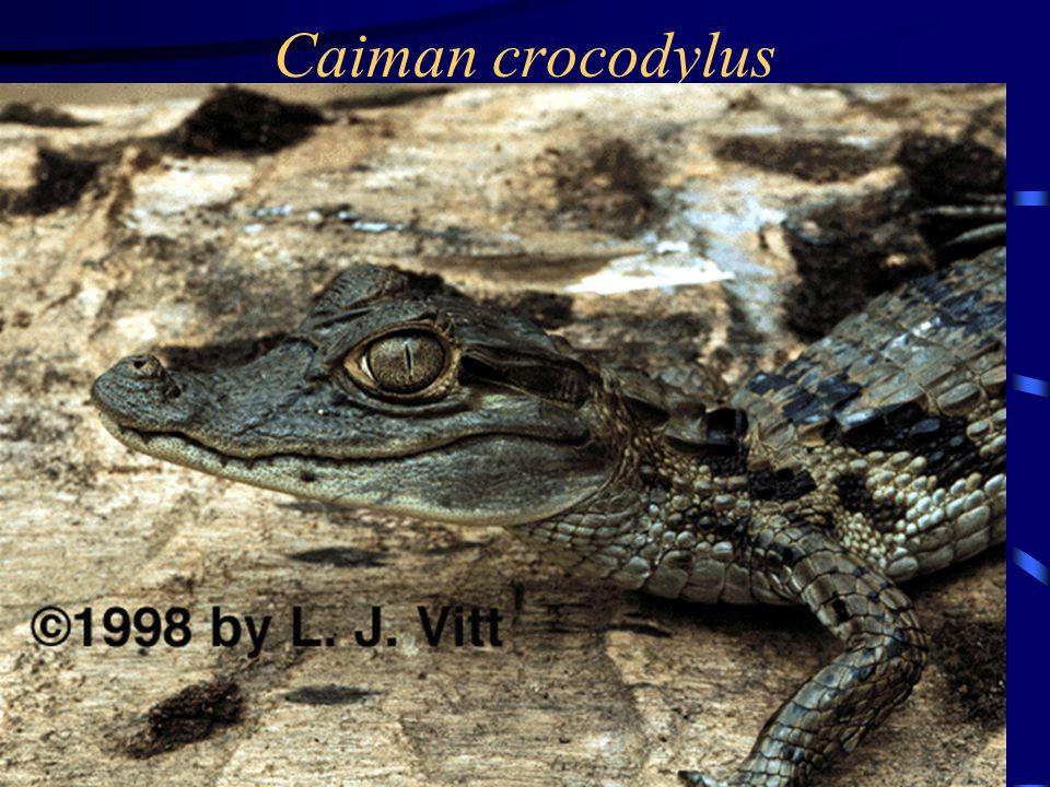 Caiman crocodylus