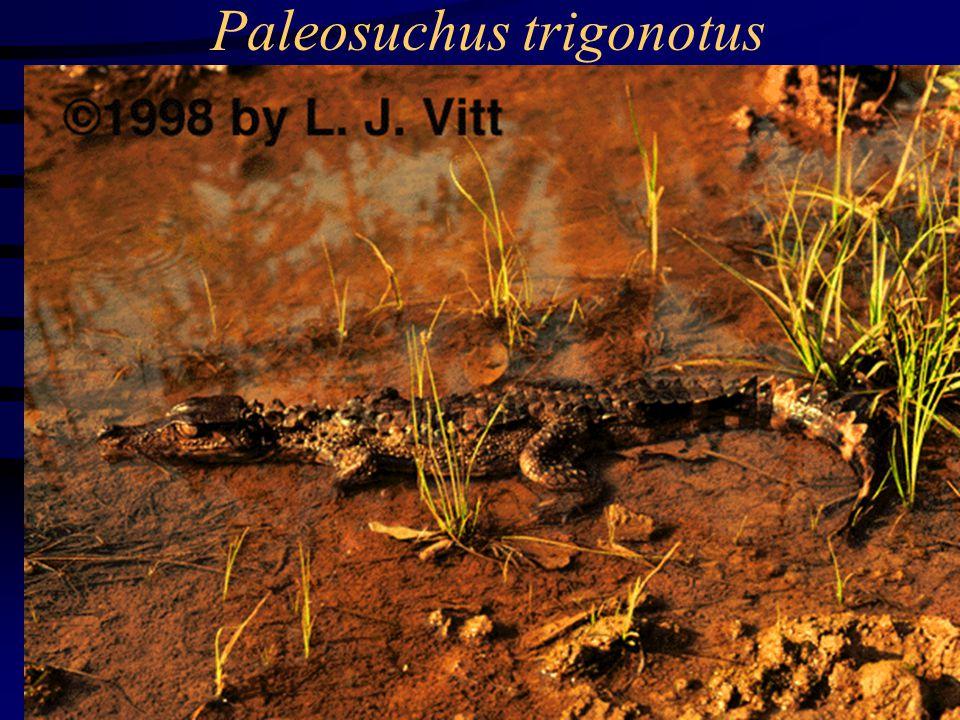 Paleosuchus trigonotus