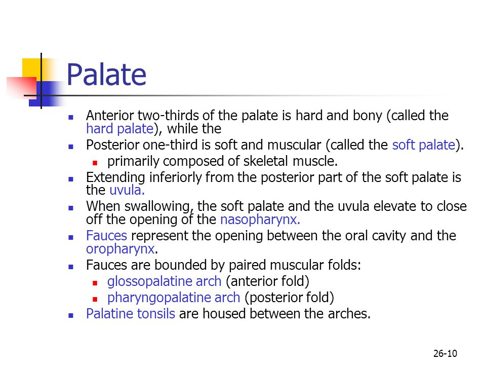 26-10 Palate Anterior two-thirds of the palate is hard and bony (called the hard palate), while the Posterior one-third is soft and muscular (called t