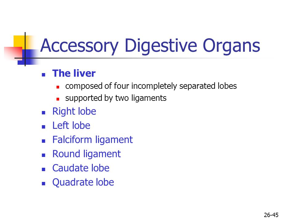 26-45 Accessory Digestive Organs The liver composed of four incompletely separated lobes supported by two ligaments Right lobe Left lobe Falciform lig