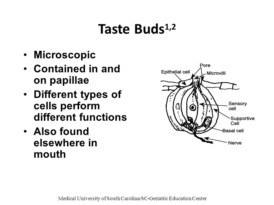 Medical University of South Carolina/SC-Geriatric Education Center Taste Buds 1,2 Microscopic Contained in and on papillae Different types of cells pe