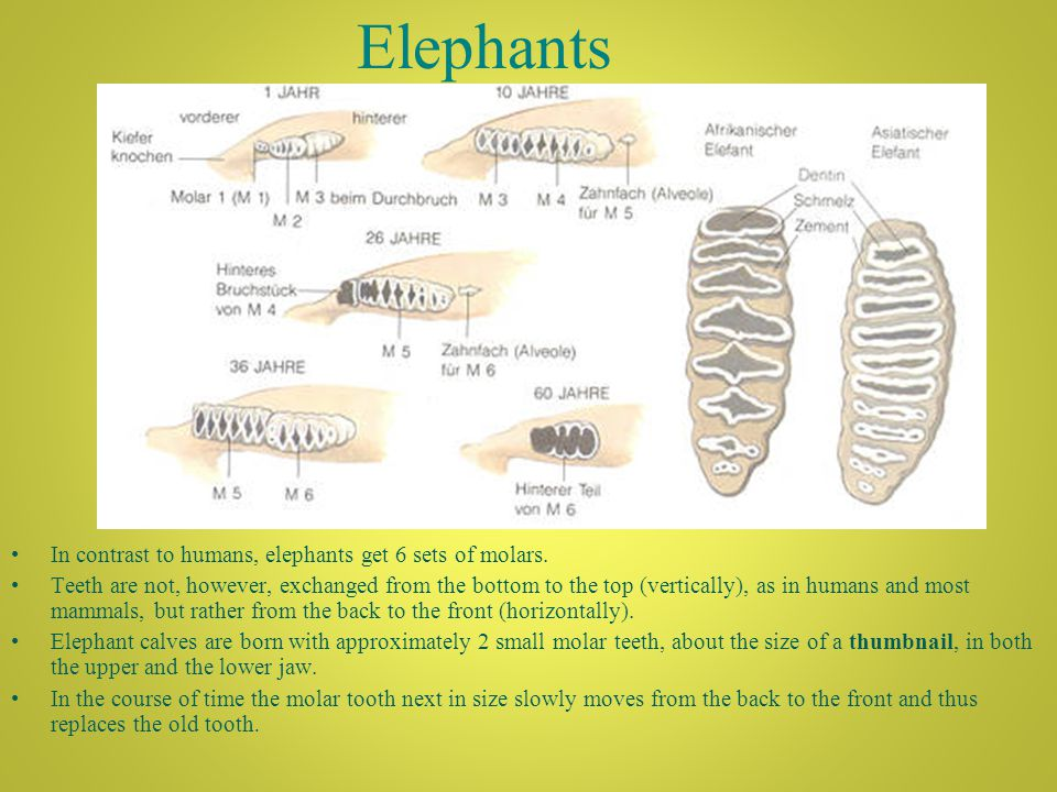 Elephants In contrast to humans, elephants get 6 sets of molars.