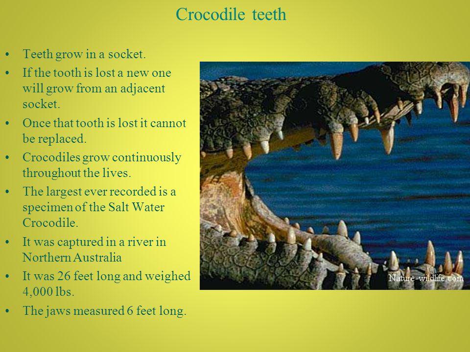 Crocodile teeth Teeth grow in a socket.