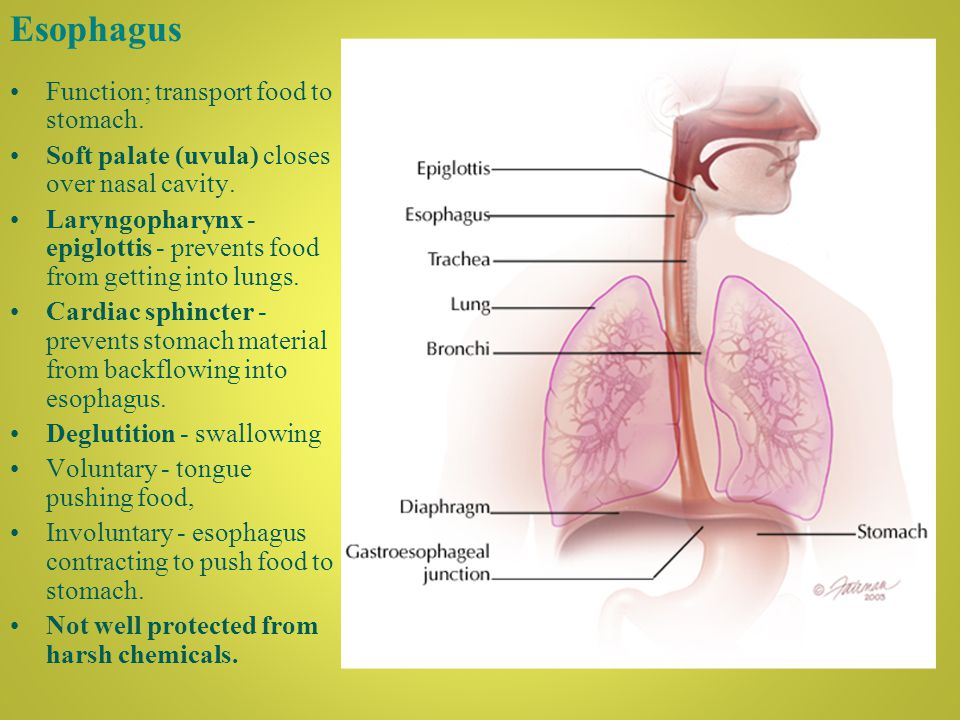Esophagus Function; transport food to stomach. Soft palate (uvula) closes over nasal cavity.