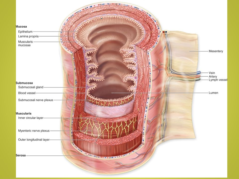 Large Intestine Parts include the cecum (appendix), ascending colon, transverse colon, descending colon, sigmoid colon, rectum,internal and external anal sphincters