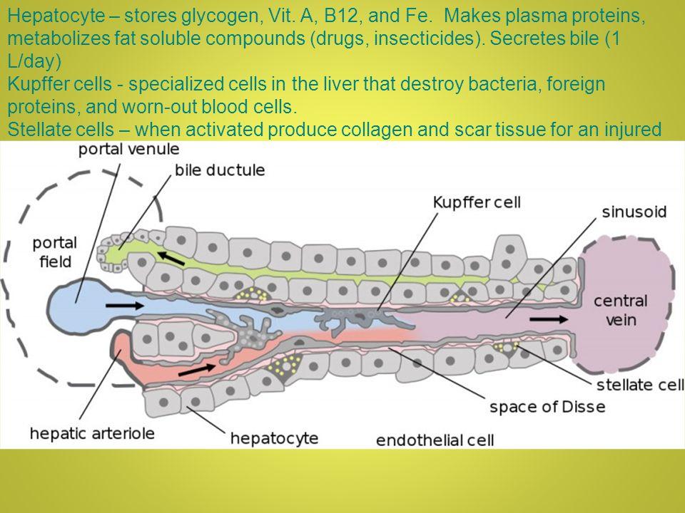 Hepatocyte – stores glycogen, Vit. A, B12, and Fe.