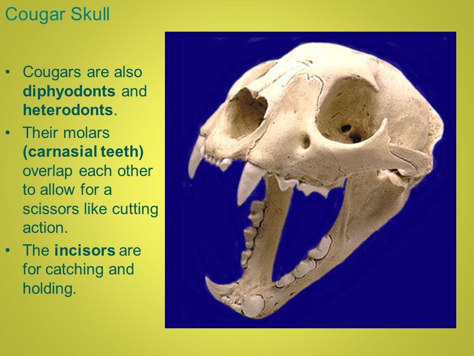 Cougar Skull Cougars are also diphyodonts and heterodonts.