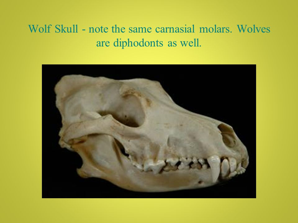 Wolf Skull - note the same carnasial molars. Wolves are diphodonts as well.