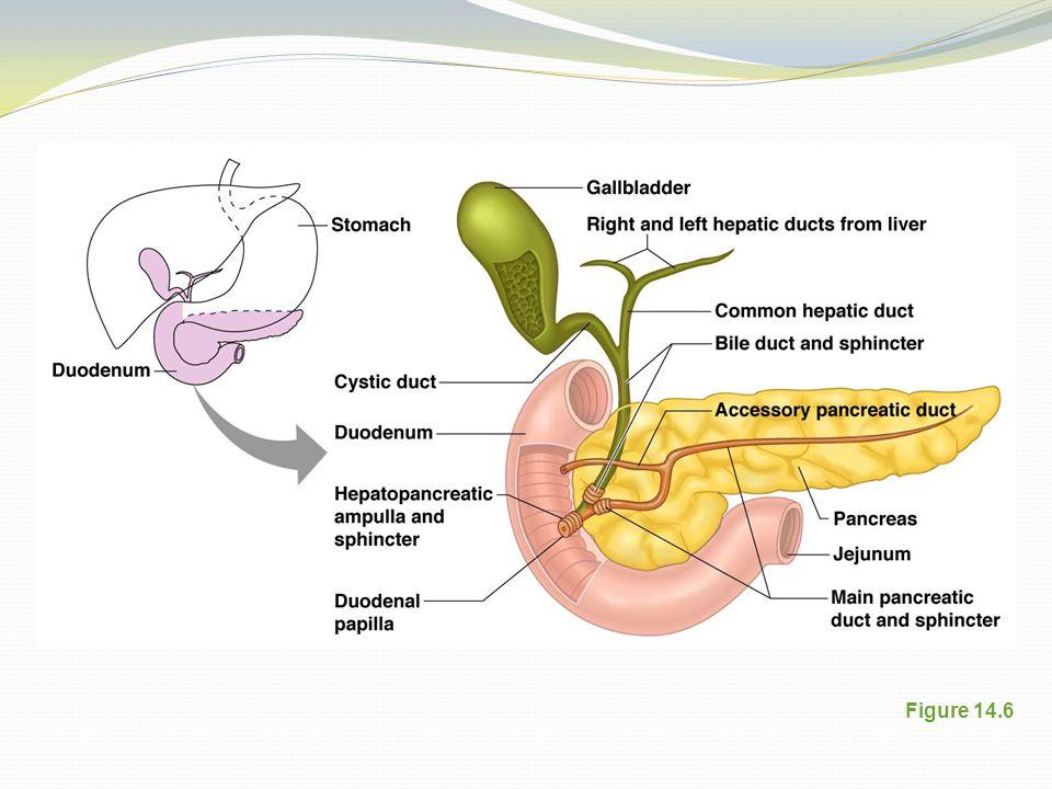 Gallbladder Figure 14.6