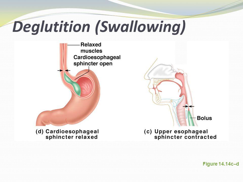 Deglutition (Swallowing) Figure 14.14c–d