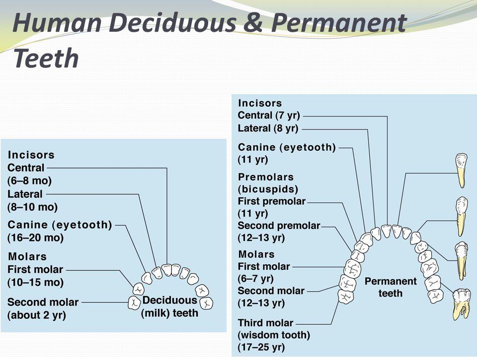 Human Deciduous & Permanent Teeth Figure 14.9