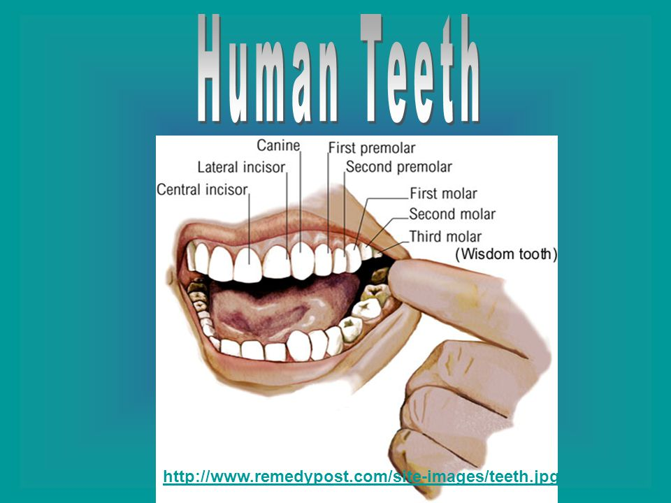 A human has eight incisors; four on top and four on the bottom.