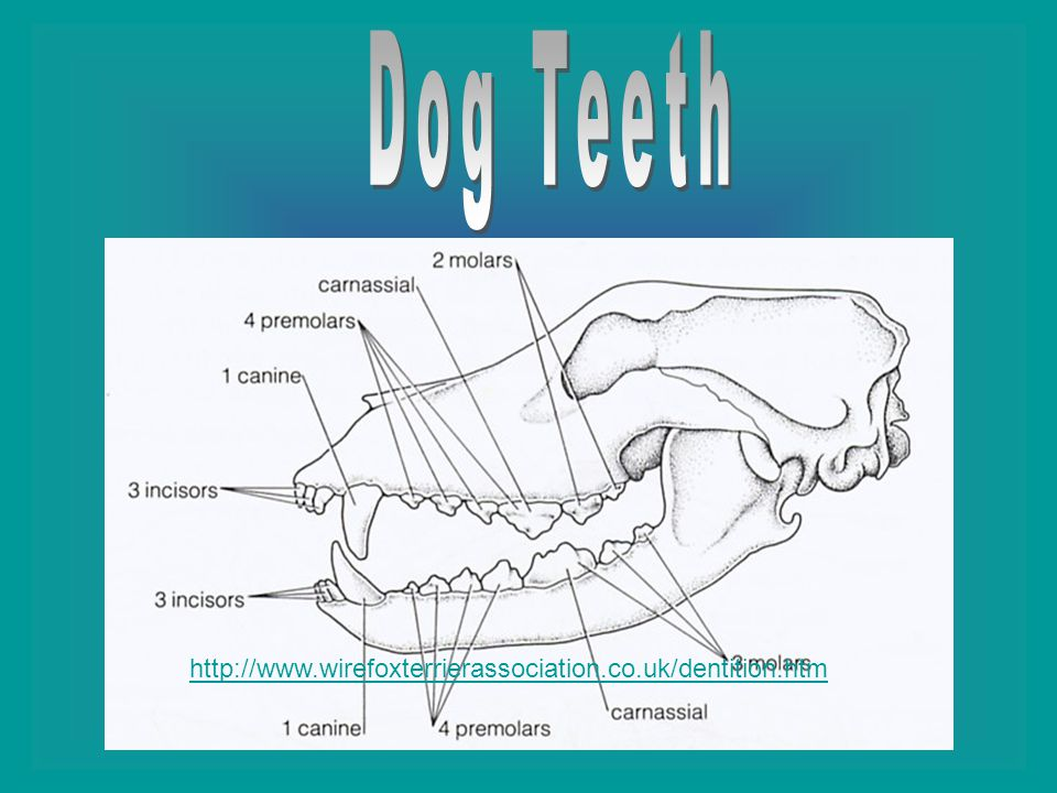 A dog has two canines; one on each side and six incisors; three on each side.