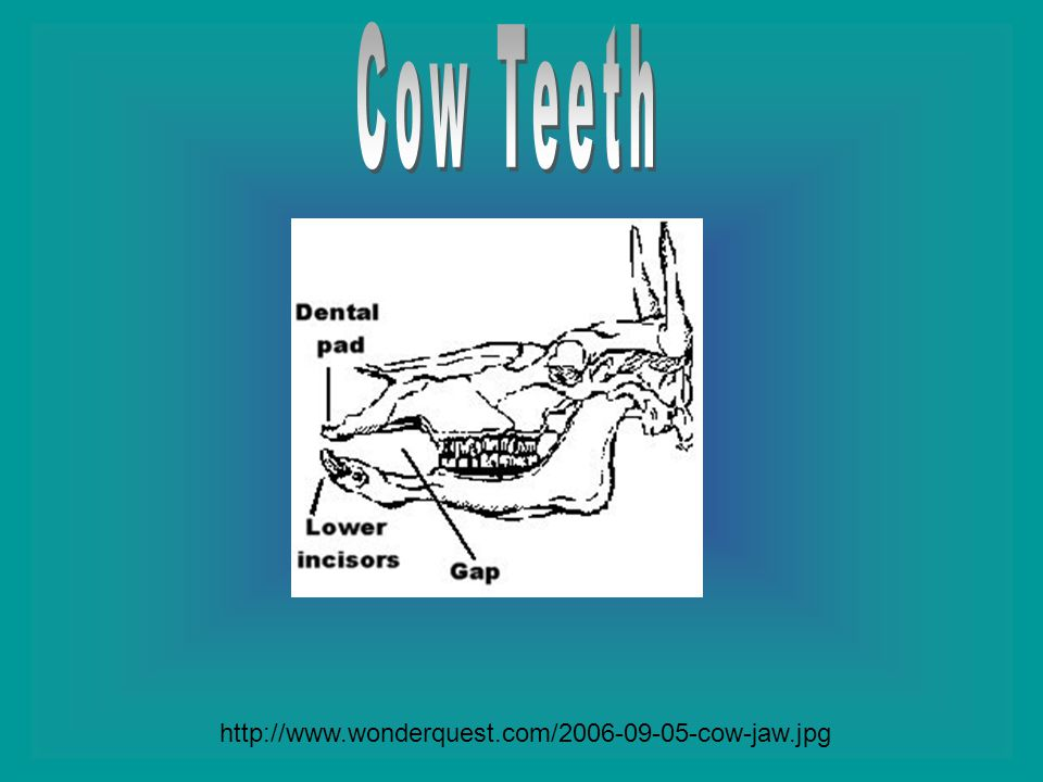 The cow has a top dental pad below their top lip instead of top front teeth.