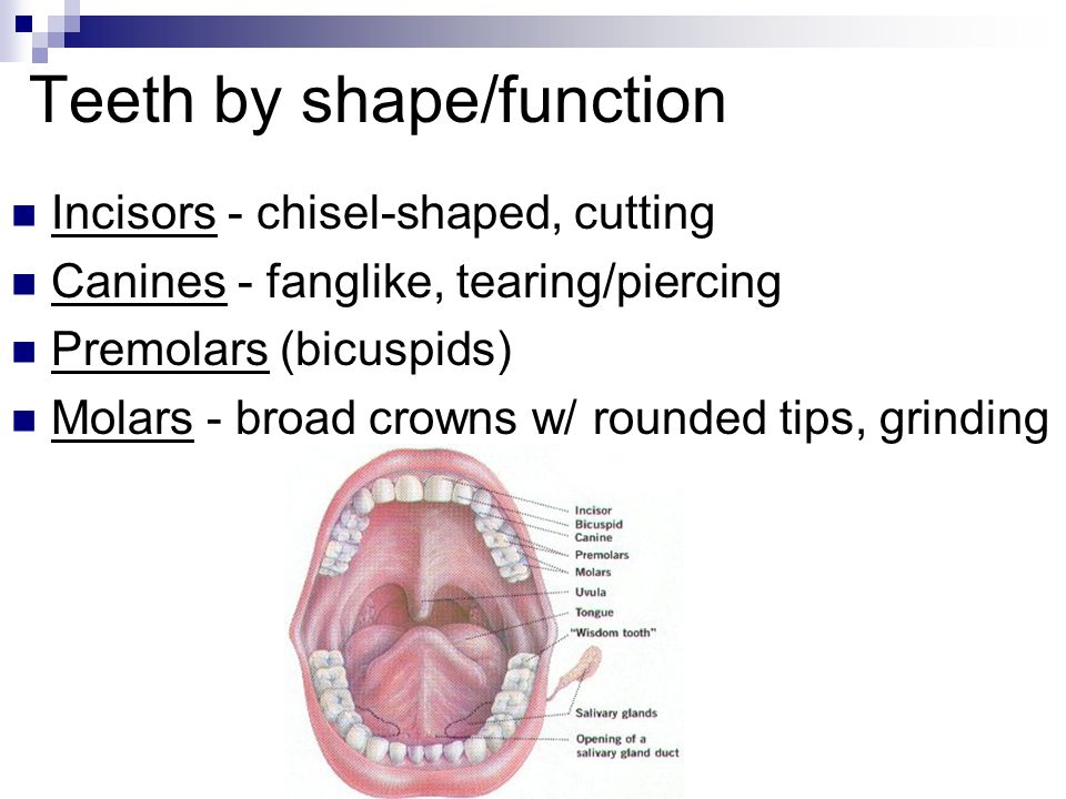 Teeth by shape/function Incisors - chisel-shaped, cutting Canines - fanglike, tearing/piercing Premolars (bicuspids) Molars - broad crowns w/ rounded