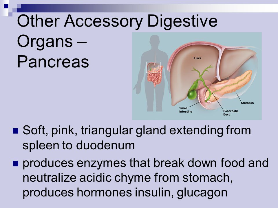 Other Accessory Digestive Organs – Pancreas Soft, pink, triangular gland extending from spleen to duodenum produces enzymes that break down food and n