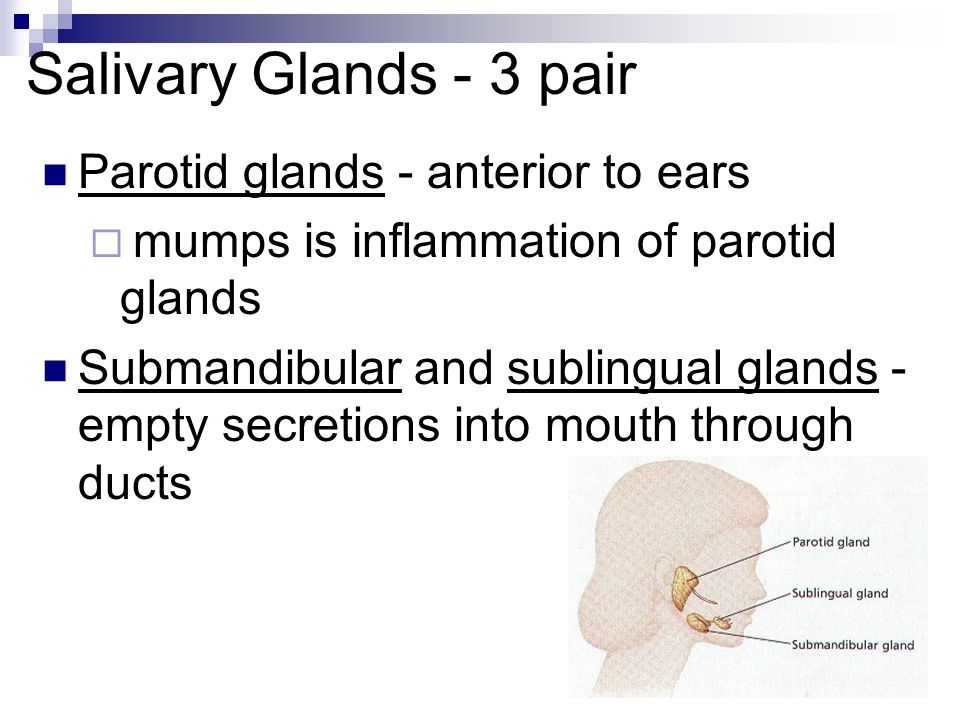 Salivary Glands - 3 pair Parotid glands - anterior to ears mumps is inflammation of parotid glands Submandibular and sublingual glands - empty secreti