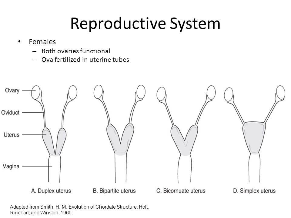 Reproductive System Females – Both ovaries functional – Ova fertilized in uterine tubes Adapted from Smith, H. M. Evolution of Chordate Structure. Hol