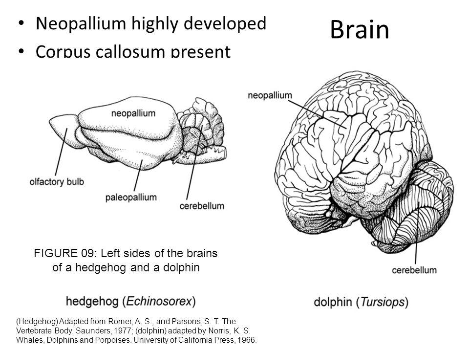 Brain Neopallium highly developed Corpus callosum present (Hedgehog) Adapted from Romer, A. S., and Parsons, S. T. The Vertebrate Body. Saunders, 1977