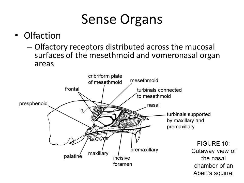 Sense Organs Olfaction – Olfactory receptors distributed across the mucosal surfaces of the mesethmoid and vomeronasal organ areas FIGURE 10: Cutaway