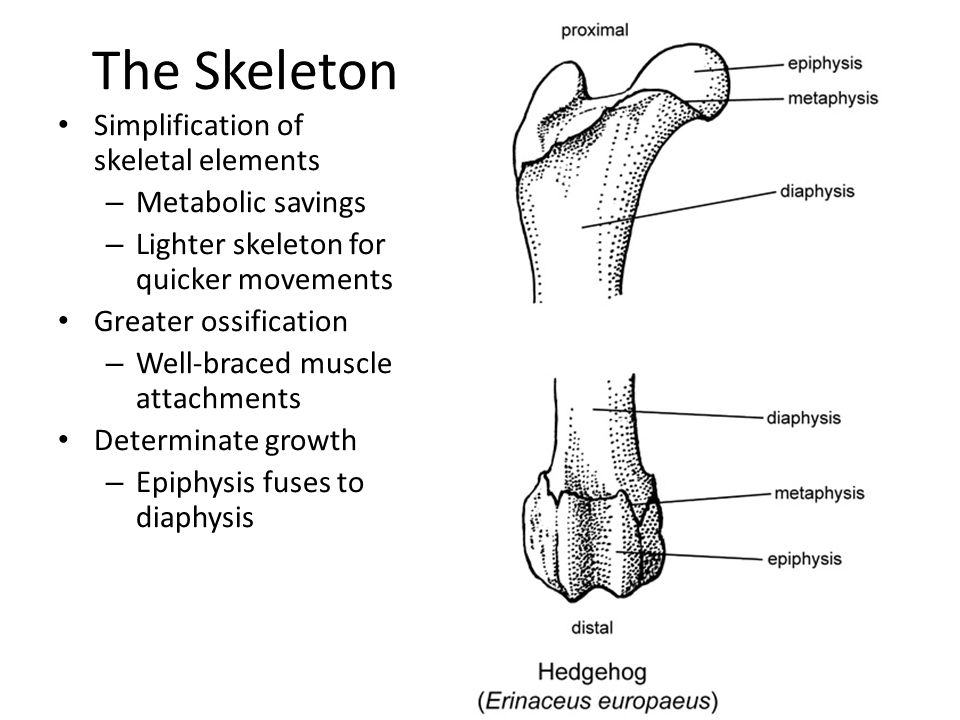 The Skeleton Simplification of skeletal elements – Metabolic savings – Lighter skeleton for quicker movements Greater ossification – Well-braced muscl