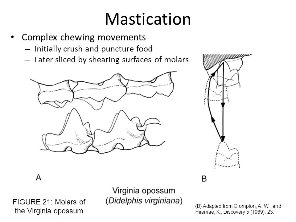 Mastication Complex chewing movements – Initially crush and puncture food – Later sliced by shearing surfaces of molars FIGURE 21: Molars of the Virgi