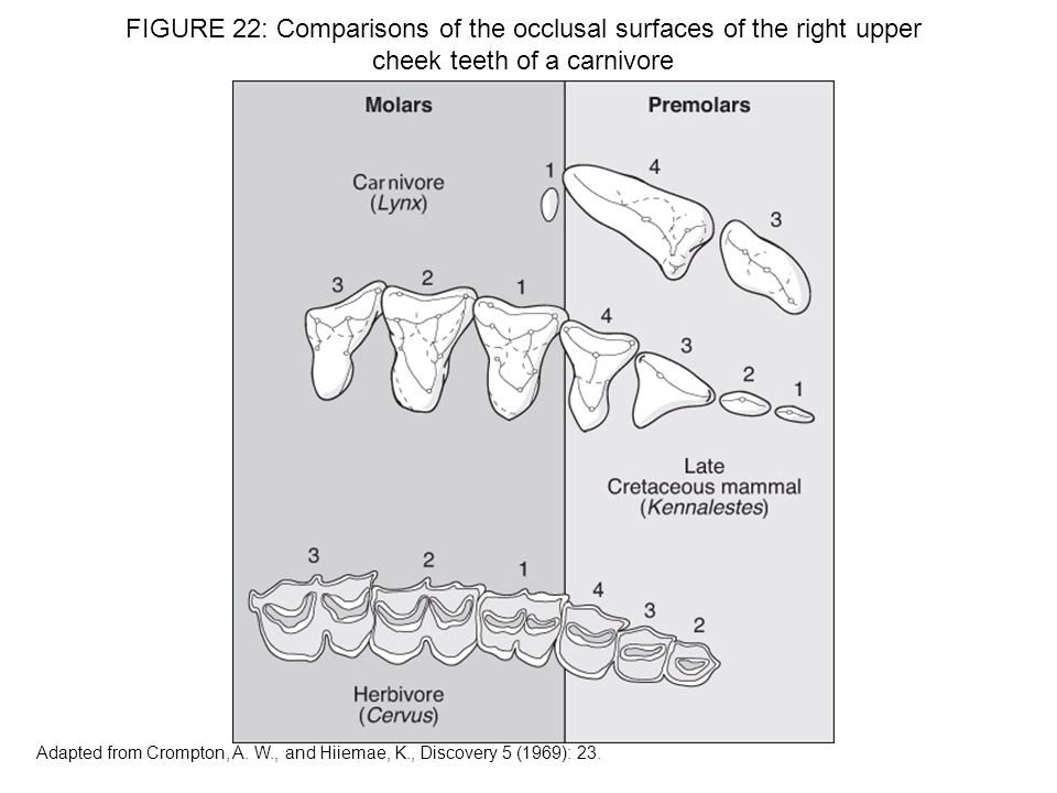FIGURE 22: Comparisons of the occlusal surfaces of the right upper cheek teeth of a carnivore Adapted from Crompton, A. W., and Hiiemae, K., Discovery