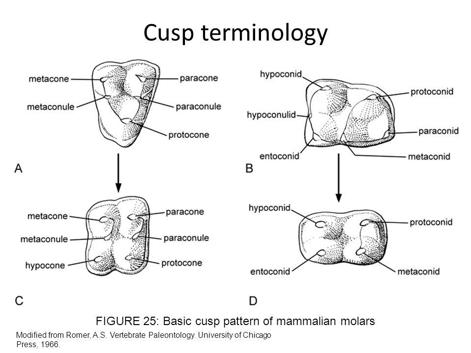 Cusp terminology Modified from Romer, A.S. Vertebrate Paleontology. University of Chicago Press, 1966. FIGURE 25: Basic cusp pattern of mammalian mola
