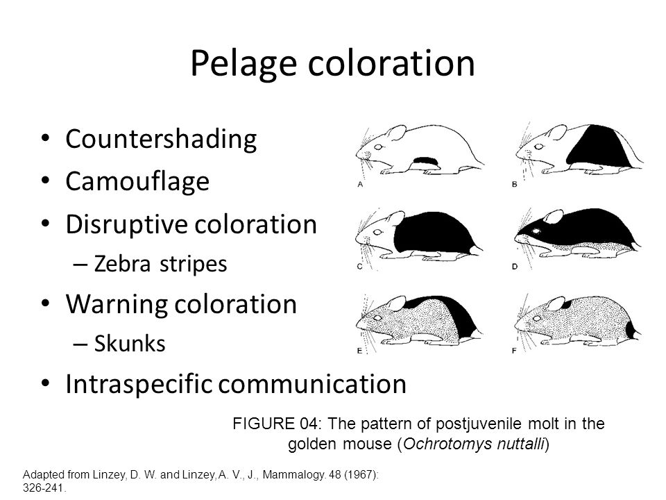 Pelage coloration Countershading Camouflage Disruptive coloration – Zebra stripes Warning coloration – Skunks Intraspecific communication FIGURE 04: T