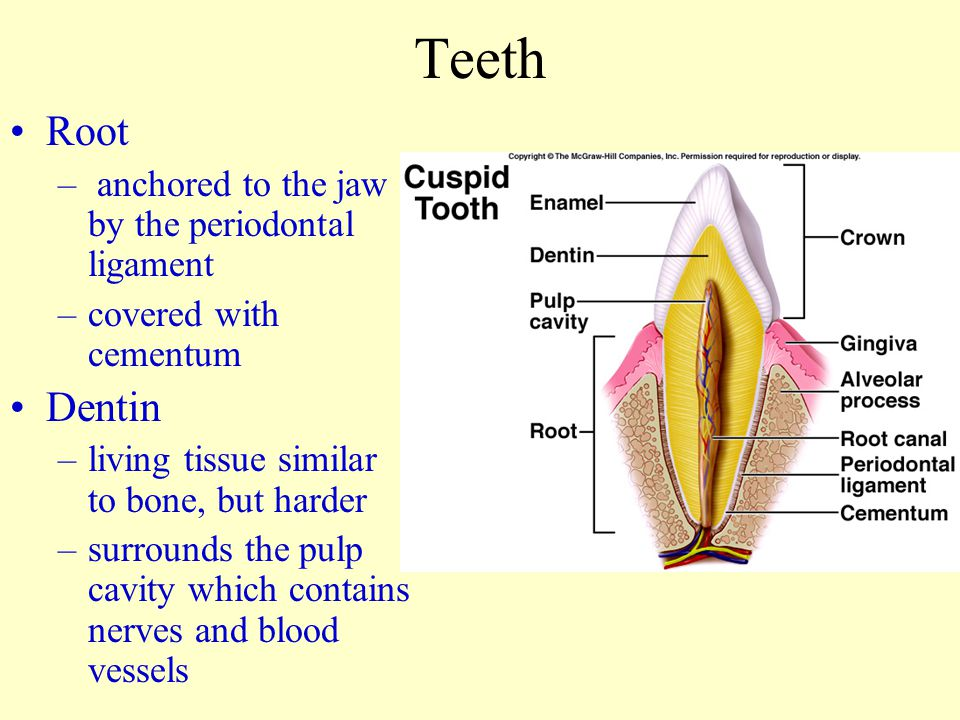Teeth Root – anchored to the jaw by the periodontal ligament –covered with cementum Dentin –living tissue similar to bone, but harder –surrounds the p