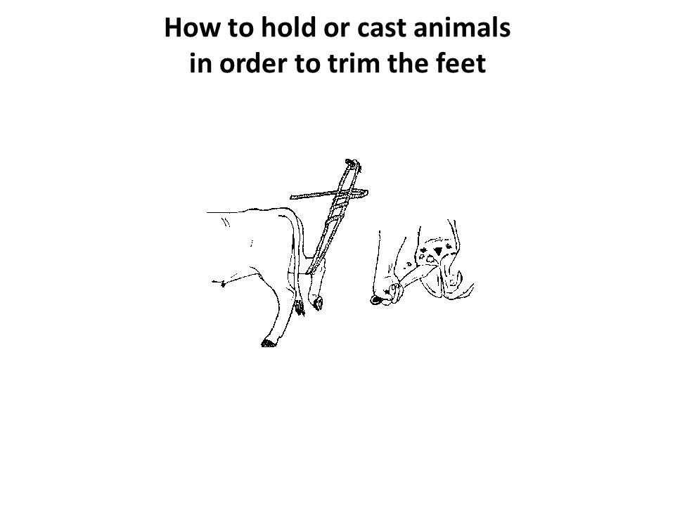 How to hold or cast animals in order to trim the feet You can trim the feet of sheep and goats alone or with someone to help you.