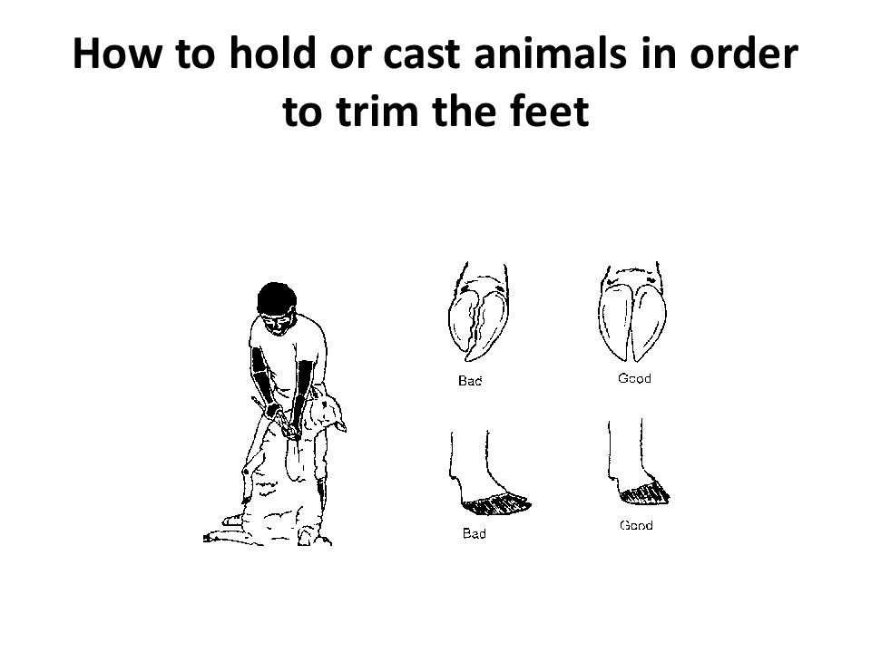 How to hold or cast animals in order to trim the feet