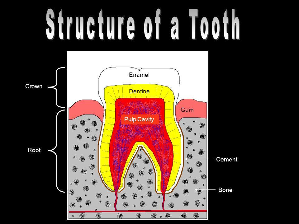 Crown Root Enamel Dentine Gum Pulp Cavity Cement Bone